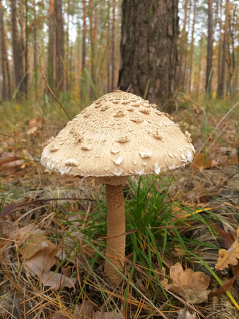 parasol mushroom, macrolepiota procera, in the forest, shallow DOF