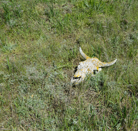 dry lichenous cow skull, laying on the grass