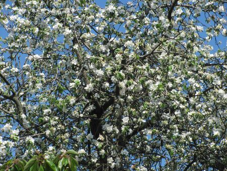 Blossoming apple tree on the blue sky background. Beautiful spring natural landscape. Фото со стока