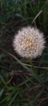 white fluffy dandelion in green grass, shallow dof Reklamní fotografie