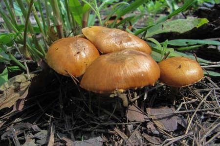 Gymnopilus junonius mushrooms in the forest, selective focus