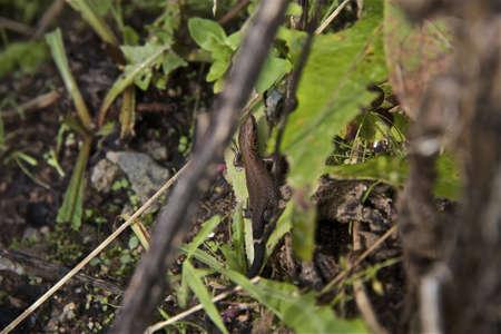 lizard in field: un peque�o lagarto en el jard�n Foto de archivo