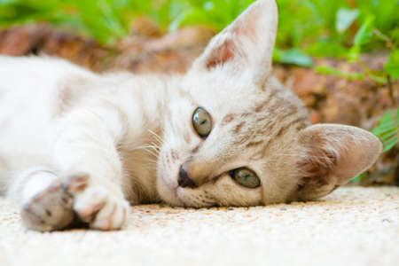 Lazy lovely kitten,Thailand photo