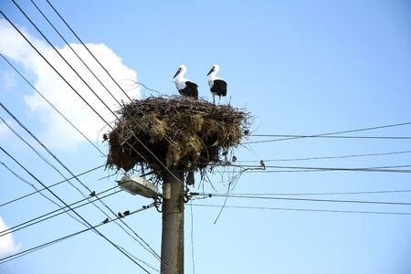reproduction animal: Young white storks on the nest