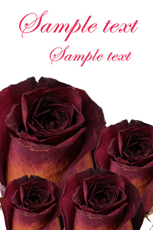 wilted: Wilted rose isolated Stock Photo