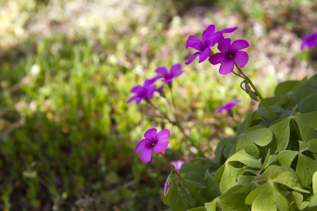 Oxalis . Closeup of green four leaved clover plants photo