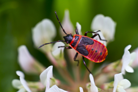 the firebug in natural habitat  Pyrrhocoris apterus photo