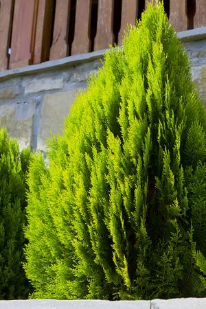 thuja occidentalis: Thuja occidentalis tree. Garden tree. Stock Photo