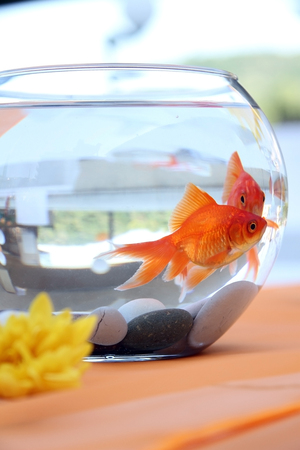 Goldfish  in a round aquarium. photo