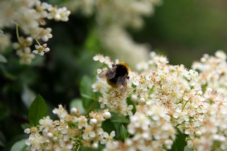 A honey bee on a cherry photo