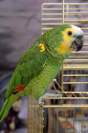 eclectus: Eclectus parrot, male