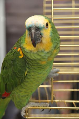 eclectus parrot: Eclectus parrot, male