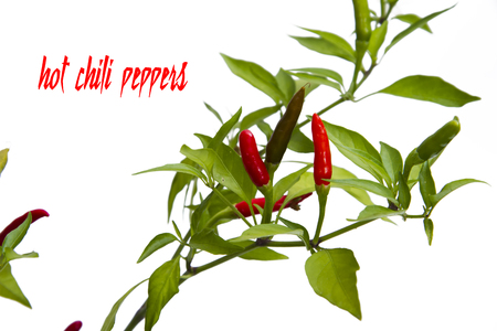 chili pepper plant  isolated on white background photo