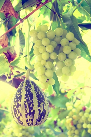 white grapes and pumpkin photo