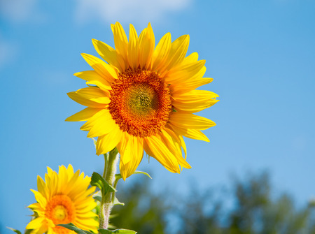Agriculture stock image - Sunflower field photo