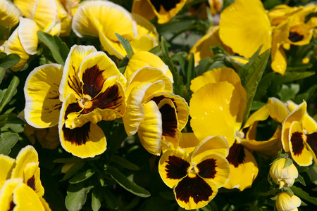 violas: Close up of tricolor violas flowers in the garden Stock Photo