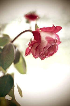 closeup of a red rose in bloom over green garden background