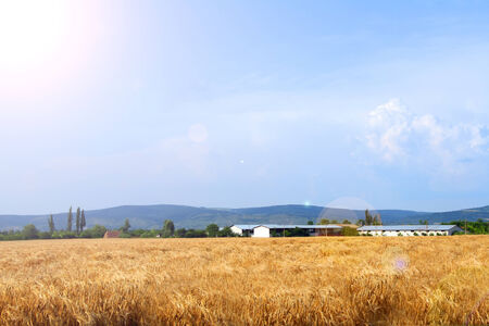 A farm in the distance - wheat crops in foreground Stock Photo