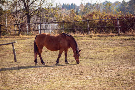 Portrait of Beautiful horse grazing in farm background 版權商用圖片