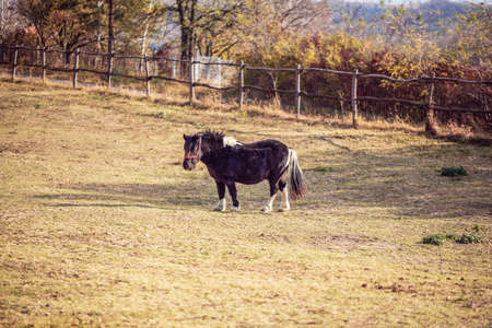 Miniature Horse-Beautiful Miniature Shetland pony on a farm