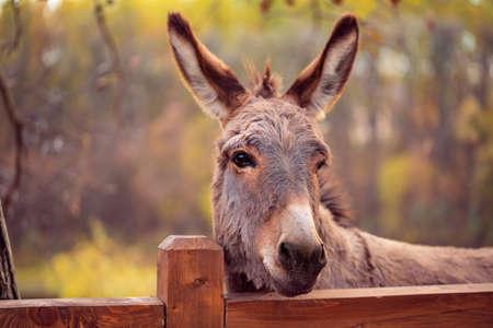 Divertido burro marrón domesticado miembro de la familia de los caballos