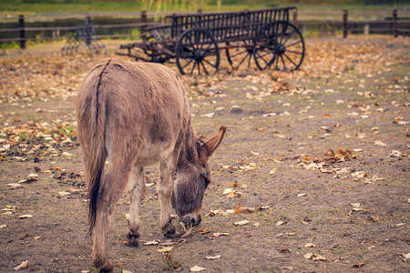 brown young donkey on a farm outdoors - pet animal