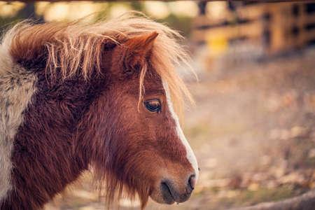 Portrait of Beautiful Miniature Shetland pony on a farm 版權商用圖片