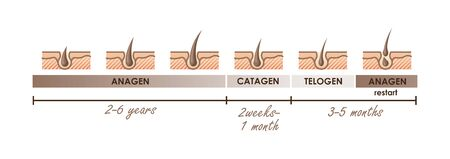 Hair growth phases. Normal hair cycle. Vector illustration