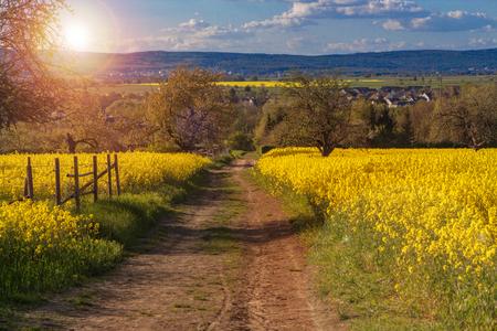 Canola fields in the spring near Frankfurt, Germany