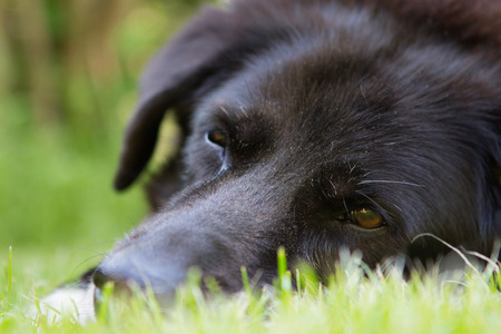 face close up: Close Up Black old dogs face lying on grass with selective focus