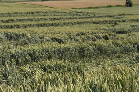 storm damage: Storm damage in agriculture in a cornfield in summer Stock Photo