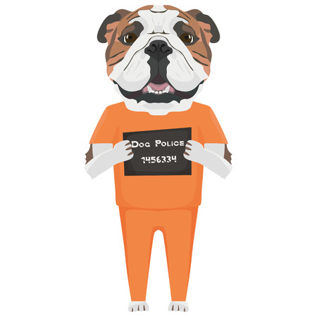 Police photo prison clothing English Bulldog - Mugshot of the guilty dog. The puppy dog eyes can be angry no dog lover.