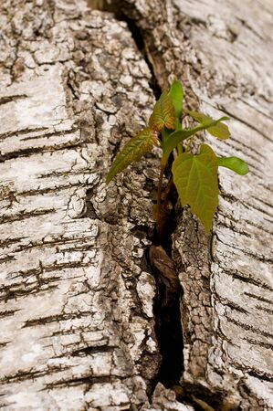 Cuttings in the birch trunk Stock Photo