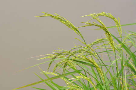 Paddy rice in flood field Stock Photo