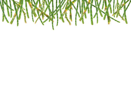 Pines leaves background