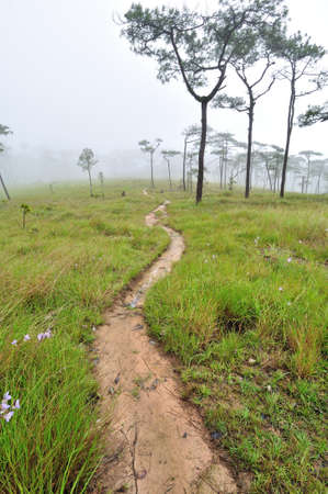 Road in pine forest cover with mist