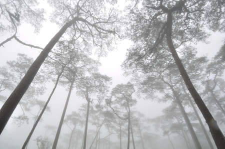 Pine forest cover with mist Stock Photo
