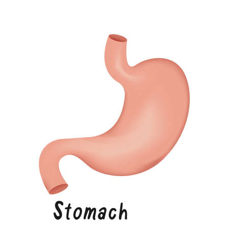 Stomach Internal Organ, Human Anatomy Vector Illustration Isolated on White Background.