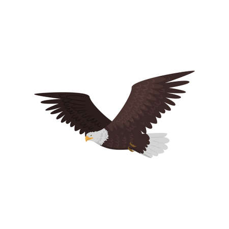 Flying bald eagle with large wings isolated on white background