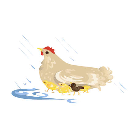 Cute farm mother chicken take care about kids