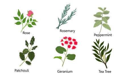Collection set of different natural herbs, flowers. Rose, rosemary, peppermint, patchouli, geranium, tea tree. Isolated vector icon illustration on white background in cartoon style