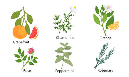 Collection set of different natural herbs, flowers, fruits. Grapefruit, chamomile, orange, rose, peppermint, rosemary. Isolated vector icon illustration on white background in cartoon style