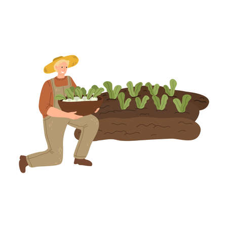 Man farmer picking cabbage from garden beds during harvesting