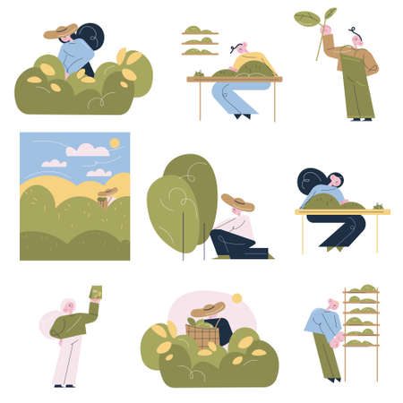 People workers picking tea leaves and making tea for sale at tea production manufacture Illustration