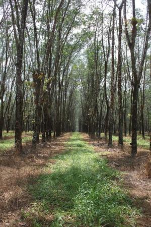 caoutchouc: Rubber tree garden (Hevea brasiliensis) or Caoutchouc Stock Photo