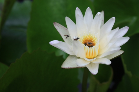 White lotus flower with bees photo