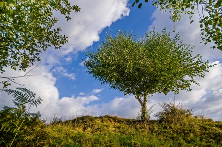 White birch tree surrounded and guarded by leaves of other trees