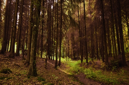 Beautiful green path in a thick coniferous forest