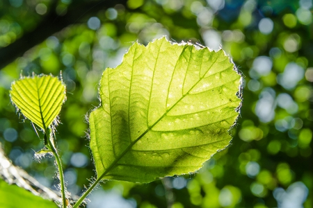 A pair of a young large leaf and a smaller leaf in the foreground with beautiful green bokeh in the out-of-focus background