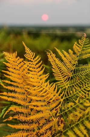 Beautiful orange golden fern and a single silk thread done by a spider in a sunset landscape with pink sun centered in the out-of-focus background